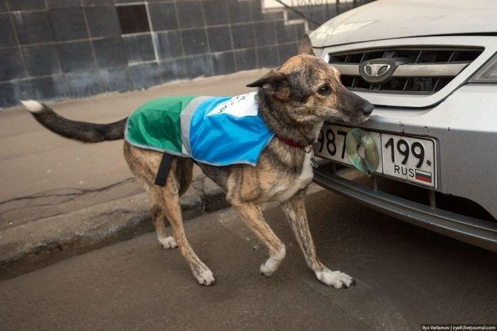 moscow-police-dogs-take-scraps-off-number-plates-as-drivers-try-to-get-away-with-bad-parking_12